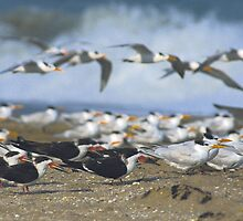 Mixed shorebirds by Larry  Grayam