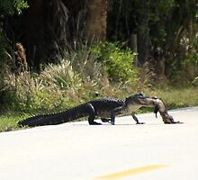 AMERICAN ALLIGATOR RETRIEVES ROAD KILL by TomBaumker