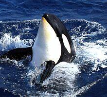 Killer Whale #7  by lanebrain photography