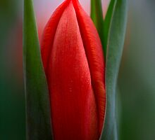 Tulip Portrait Of Red by Deborah  Benoit