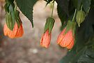 Chinese Lantern (abutilon hybridum) by Elaine Teague