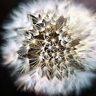 Dandelion by Helena Haidner