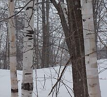 Snowy Birch by DavePlatt