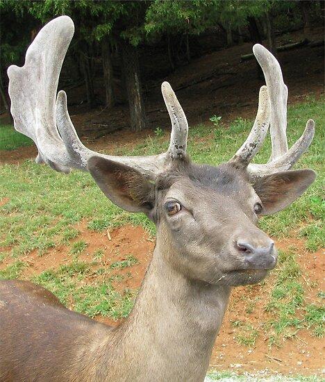 Fallow Deer - Head Shot by Ginny York
