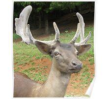 Fallow Deer - Head Shot Poster
