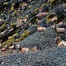 Sierra Big Horn Sheep Herd by Nolan Nitschke