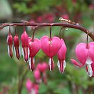 String of Bleeding Hearts by SKNickel