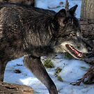Timber Wolf by Kerri Gallagher
