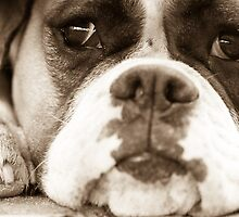 Bored Boxer by Mark van den Hoek