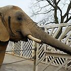Elephant by farmbrough