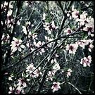 ...Hello Blossom... by tonilouise