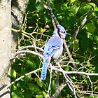Blue Jay Birdy by Leslie Patton