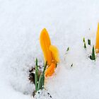 Spring Crocus 2 by pictureit