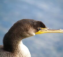 A Juvenile Double-crested Cormorant. by DigitallyStill