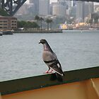 Sydney Harbour Hitch-Hiker by Bellavista2