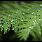 Humboldt Redwood after a shower by Coastalbloke