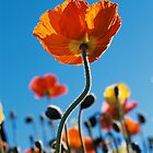 Tall Poppy by JoMann