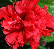 Double Red Hibiscus by Brandie1