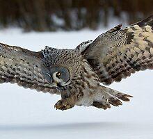 Hunting Great Grey Owl by wildlifephoto