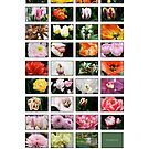 Keukenhof Collage by Alison Cornford-Matheson