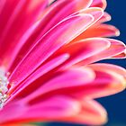 Gerbera by ehphotography