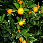 Orange Tree by shiraz
