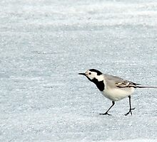 Wagtail on Ice by Ritva Ikonen