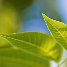 Spring Leaves by Friendly Photog