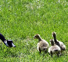 chick chick chick goose by shootzpics