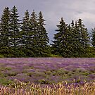 Lavender Field_1 by sundawg7