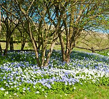 Blue and White Daisys in Spring: Leeds Castle Kent UK by DonDavisUK