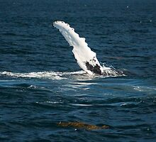 Humpback Whale Fin by Alana Ranney
