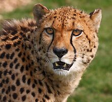 Cheetah 3 by SWEEPER
