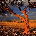 Tree and Weaver Bird Nest, Namib Desert, Namibia. Africa. by photosecosse /barbara jones