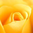 Yellow Rose by stellaozza