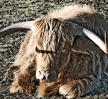 Highland coo by johnsmith148