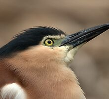 Nankeen Night Heron  by Tom Newman