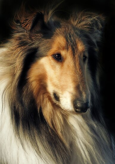 Rough Collie by Natalie Manuel