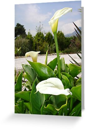 Three Cream Calla Lilies With Garden Background by taiche