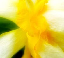 Daffodils by pmn-photography