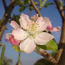 Apple Blossom by taiche