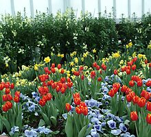 Blue among the Daffodils and Tulips  by Carol Smith