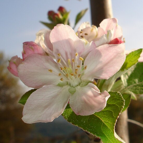 Apple Blossom Macro by taiche