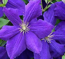 Jackmanii Clematis by Kelly Cavanaugh