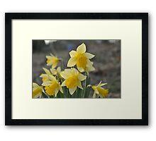 Dainty Daffodils Framed Print