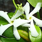 Dancing Jasmine by Carol Megivern