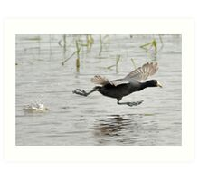 Coot Scoot Art Print