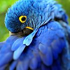 Hyacinth Macaw by Dennis Stewart