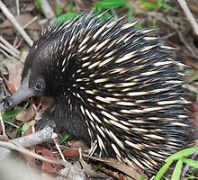 Echidna ~ A face that's seldom seen by Robert Elliott
