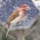 Pine Grosbeak by maxy